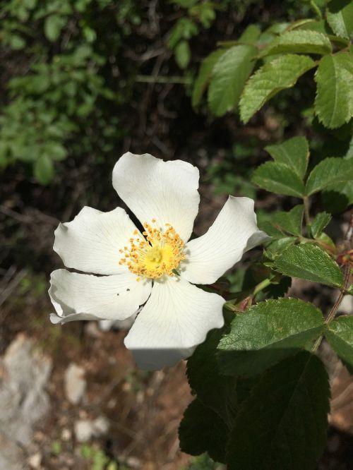 gėlė,gamta,pavasaris,vasara,natūralus,gėlių,sodas,augalas,žiedas,žydėti,žalias,šviežias,lapai,balta,sezonas,apdaila,spalva,žydi,botanikos