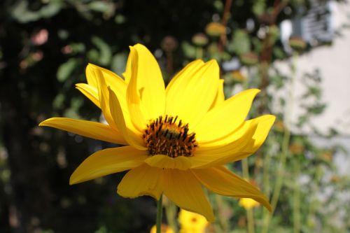 žiedas,žydėti,geltona,vasara,augalas,žiedlapiai,sodas,kompozitai