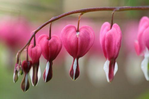 žiedas,žydėti,rožinis,makro,sodas,gėlės,augalas,gėlė,violetinė,sodo augalas,dekoratyvinis augalas,žalias,žydėti,gamta,flora,vasara,gražus,kraujuojanti širdis,herzerlstock,Uždaryti,serijos,žydėti arti,įsakymas