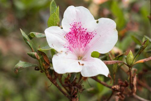 gėlė,balta,balta gėlė,gamta,gėlės,sodas,augalas,lapai,maža gėlė,baltos gėlės,spalvos,žydėjimas,subtilus gėlė,pavasaris,gražus,subtilus,natūra,žiedlapiai,grožis,Grynumas,namai,žemė