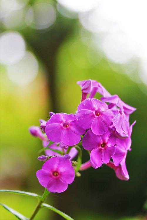 gėlė,sodas,žiedas,žydėti,gamta,Uždaryti,gėlių sodas,flora,vasara,pavasaris,Sode,anemonis,violetinė balta,botanikos sodas