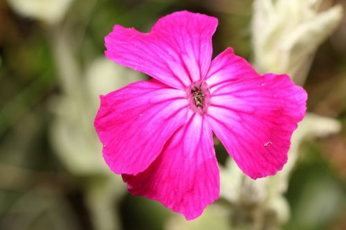 gėlė,rožinis,Uždaryti,žiedas,žydėti,rožinės gėlės,gamta,sodas,gėlių antspaudas,trapi,makro,augalas,pavasaris,šviesa,sodo gėlė