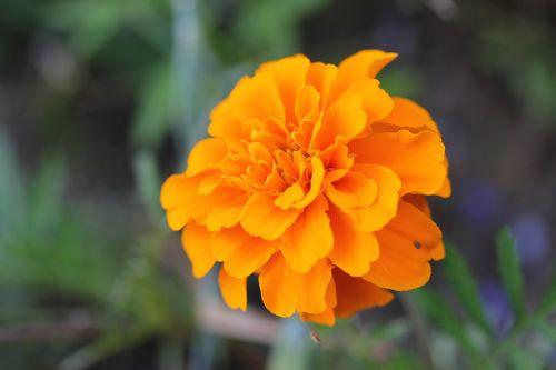 gėlė,gamta,pfingstsrose,geltona gėlė,laukinė gėlė,žiedas,žydėti,žinoma,graži gėlė,žvaigždė,gėlės,flora,gamtos gėlė,rožė