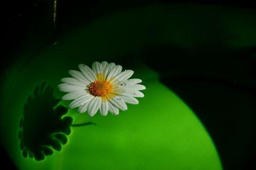 gėlė,dreifas,ant vandens
