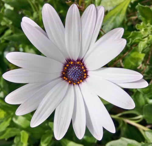 gėlė,balta,Afrikos,Daisy,osteospermas,gamta