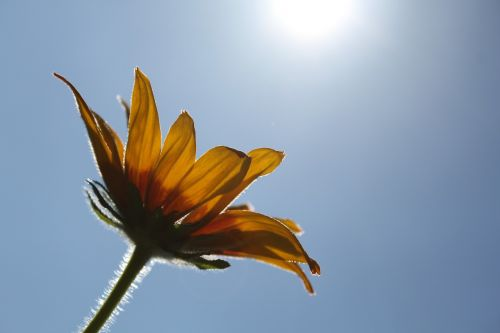 gėlė,rudbeckia,graži gėlė,geltona gėlė,dangus,vasara,gėlė rudbeckia,žydėti,gėlės,sodo gėlės,vasaros gėlė