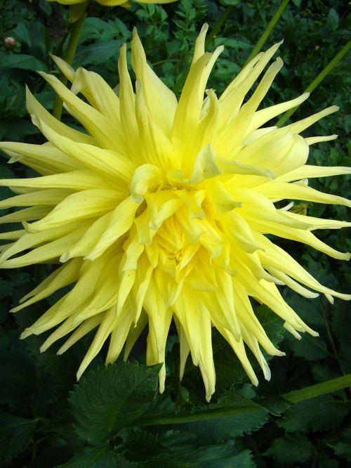 gėlė,didelė gėlė,geltona gėlė,egzotiška gėlė,žiedlapiai,žydėjimas,žydi,augalas,pilnai žydėti