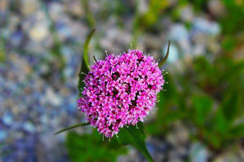 gėlė,gražus,graži,violetinė,gamta,graži gėlė,vasara,gėlės,žinoma,sodas,rožinis,pavasaris