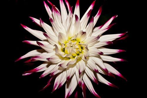 gėlė,žydėti,balta,augalas,gamta,žiedlapiai,tamsi
