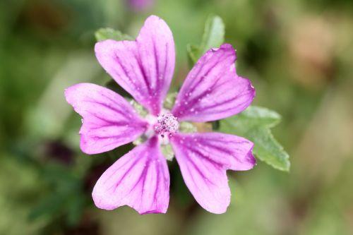 gėlė,violetinė,purpurinė gėlė,augalas,gamta,gėlė violetinė,Uždaryti,violetinė,tuti,žiedas,žydėti,makro,pavasaris,tamsiai violetinė,laukinė gėlė,gražus,pieva,lapai,spalvinga,mažos laukinės gėlės,sodas,žiedlapiai,žydėti,rožinė gėlė