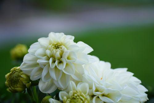 gėlė,gamta,augalas,balta gėlė,žinoma,balta,graži gėlė,sodas,vasara,balta žalia,pavasaris,gamtos gėlė,flora,neryškus,fonas neryškus
