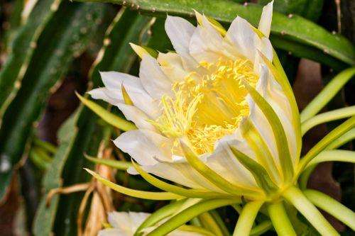 gėlė,pitaya,pitahaya,kaktusas,didelis,mayfly,Drakono vaisius,naktis