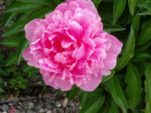 gėlė,gamta,pikonija,rožinė gėlė,graži gėlė,žiedas,žydėti