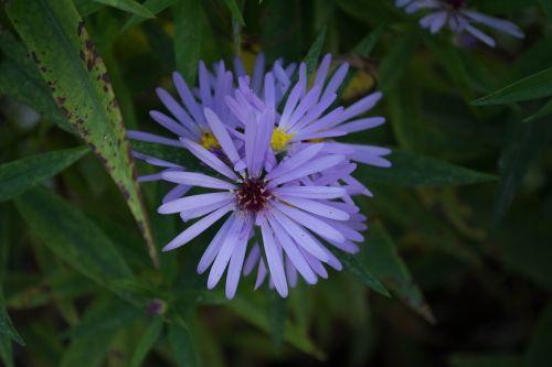 gėlė,violetinė,purpurinė gėlė,gėlės,pavasaris,laukiniai,gamta,žiedlapiai,violetinė,grožis,Alyva,violetinė daisy,laukas,sodas,laukinė gėlė,augalai