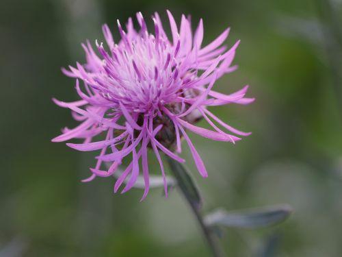 gėlė,gamta,meilė,žinoma,graži gėlė,gamtos gėlė,laukinė gėlė,sodas,pavasaris,flora,augalas,fonas