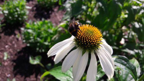 gėlė,balta gėlė,kamanė,kamanės,pistils,geltona,vabzdys,sparnuotas vabzdys,graži gėlė,augalas,gėlės,žalias,žaluma,sodrus,nuolaida,sodinti,svartgul vabzdys,svartgula