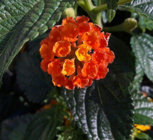 gėlė,augalas,augalai,parkas,gėlės,vasaros pabaigoje,vasara,vasaros gėlės,vasaros gėlė,Švedija,lapai,lapija,oranžinė,oranžinės gėlės,pasodintas augalas