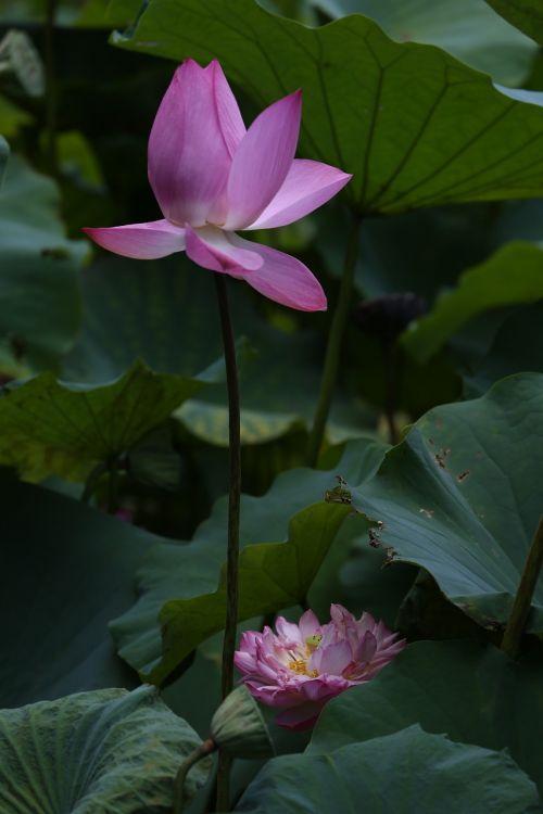 gėlė,lotosas,Taivanas