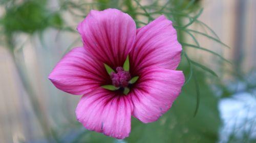 gėlė,violetinė,rožinis,žiedas,žydėti,purpurinė gėlė,augalas,gamta,gėlė violetinė,Uždaryti,violetinė,raudona violetinė,makro,tuti,pavasaris,tamsiai violetinė,vasara,laukinė gėlė,balkonas