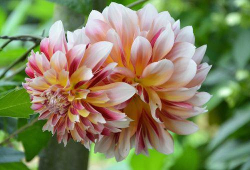 gėlė,dahlia,bicolor,augalas,sodininkystė,botanika,gamta,vasaros gėlės