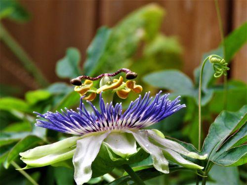gėlė,kompleksas,aistra gėlė žydi,mėlyna ir balta