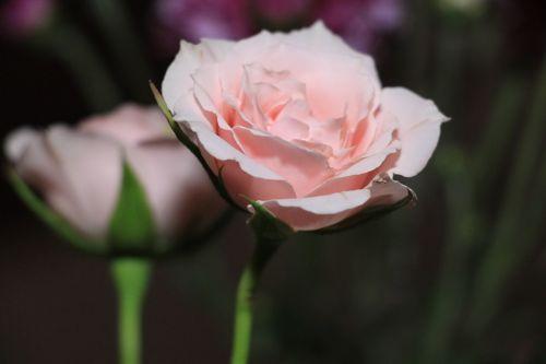 gėlė,flora,maža gėlė,gėlės,pavasaris,gėlė,subtilus gėlė,gamta,augalai,rosa,spalva,centras,gražus,augalas,erškėčių,Bello,laimė