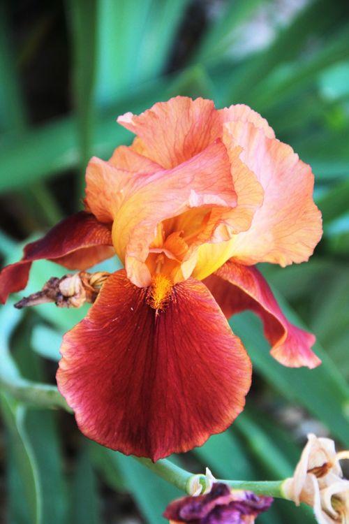 gėlė,botanika,botanikos sodas,gamta,žydėjimas