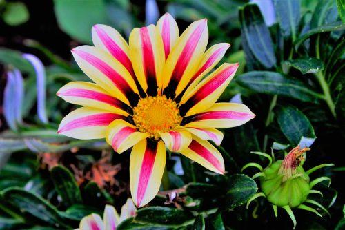 gėlė,gazanie,gamta,žiedas,žydėti,augalas,sodo augalas,aukso vidurdienis,vidurnakčio aukso gėlė,balta,rožinis,geltona,vasaros gėlė,sonnentaler,korbblüter