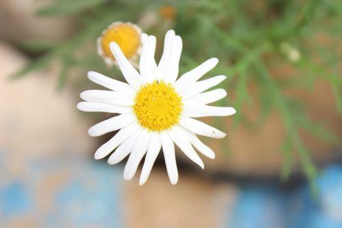 gėlė,gamta,augalas,pavasaris,graži gėlė,gamtos gėlė,sodas