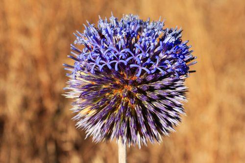 gėlė,gamta,makro,augalas,mėlynas,makro chichewa,Uždaryti
