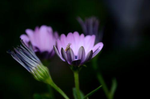 gėlė,violetinė,purpurinė gėlė,raudona violetinė,augalas,gamta,Uždaryti,gėlė violetinė,violetinė,žiedas,žydėti,makro,tamsiai violetinė