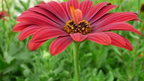 gėlė,kompozitai,žiedas,žydėti,tamsiai raudona,gėlių sodas,vasara,gamta