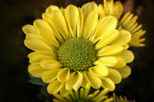 gėlė,gamta,ruduo,makro,chrizantema,žiedas,žydėti,kompozitai,asteraceae,Uždaryti