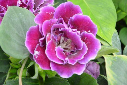 gėlė,gloxinia,rožinė fuksija,dekoruoti,dekoratyvinis,ryškiai rausvos spalvos,žalia lapija,fuksija,gamtos sodas