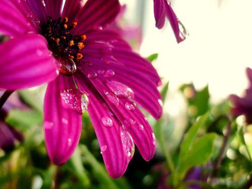 gėlė,gamta,augalas,makro,spalvingos gėlės,pavasaris,didžiulė gėlė