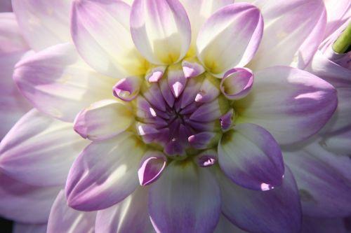 žiedas,žydėti,violetinė,gėlė,augalas,vasara,žydėti,flora,gamta,kauliukai,sepals