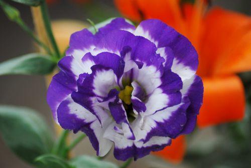 gėlė,gamta,flora
