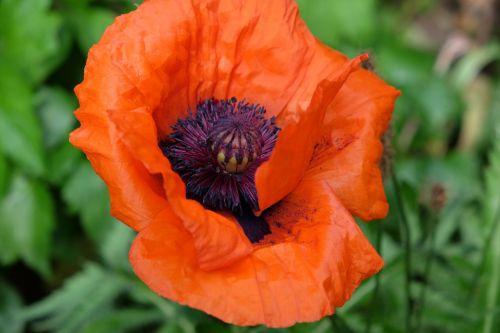 gėlė,aguona,sodas,raudona aguona,žiedas,žydėti,rytietiška aguona,Vokietija,geltona oranžinė