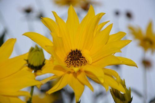 gėlė,geltonos žiedlapiai,geltona gėlė,gamta,masyvas,gėlės žiedlapiai,puokštė,žydėjimas,sodas,geltona ramunė,žiedlapiai geltoni,žiedlapiai