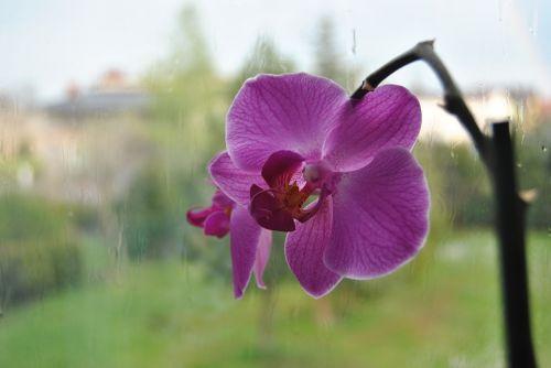 gėlė,lietus,pavasaris,po lietaus,augalas,orchisa,lašai vandens,po audros,stiebas,pilnai žydėti