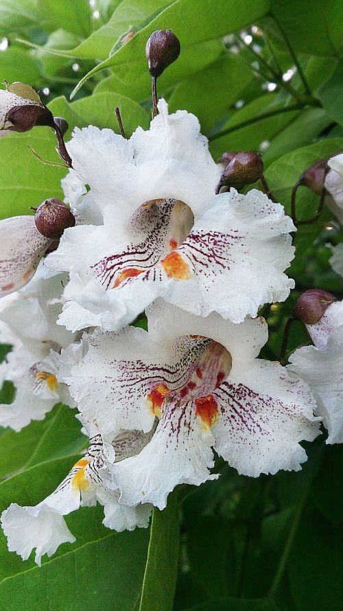 gėlė,balta gėlė,graži gėlė,žydėti,Iš arti,makro