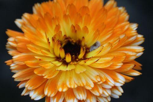 gėlė,žiedas,žydėti,sepals,oranžinė,flora,schnittblume,vasara,augalas,rožinis,vasaros gėlės