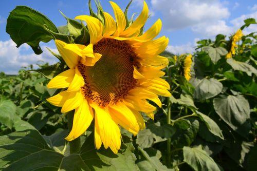 gėlė,saulėgrąžos,vakarų nghe,Vietnamas