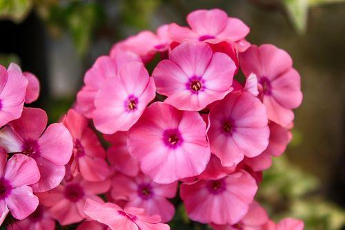 gėlė,geranium,žiedas,žydėti,rožinė gėlė,Balkonų gamykla,Uždaryti,gamta,sodas,vasara,rožinis,konteinerių gamykla,terasos gėlės