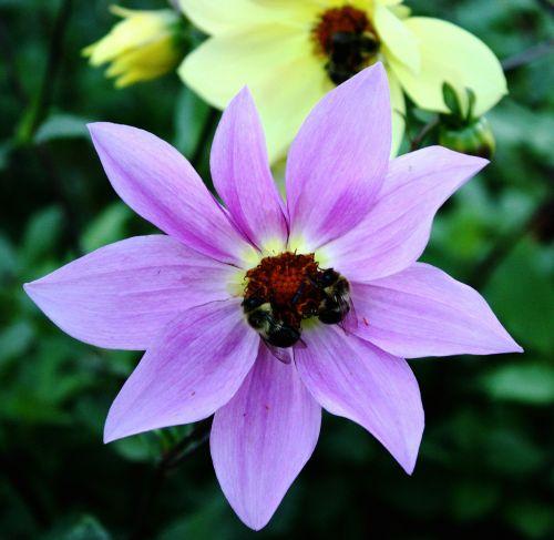 gėlė,bitės,sodas,apdulkinimas,vabzdys,gamta,medus,žiedas,žiedlapis,gėlių