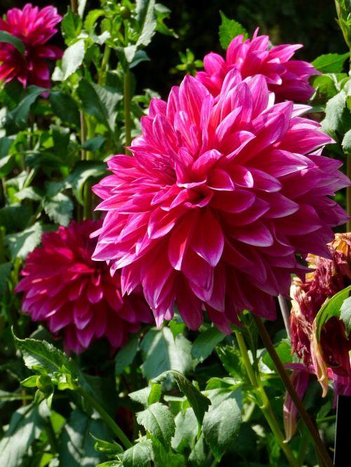gėlė,dahlia,gamta,sodas,rožinis,augalas,didelės gėlės,didelė gėlė,purpurinė gėlė,rožinė gėlė