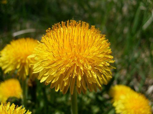 gėlė,vienuolės,makro,gamta