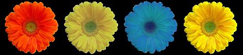 gėlė,žiedas,žydėti,spalva,geltona gėlė,mėlynas,vasaros gėlė,mėlyna gėlė,filigranas,šviesus,geltona,Uždaryti,vasara,geltonos gėlės,gražus,izoliuotas