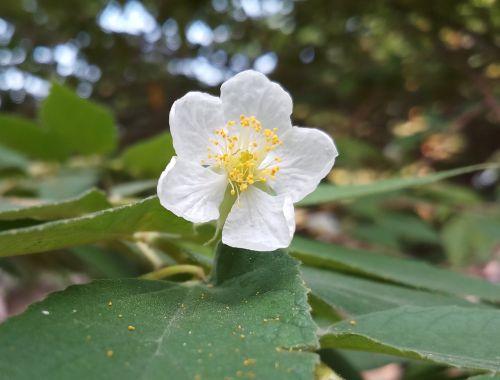 gėlė,gamta,augalas,natūralus,pavasaris,vasara,žydi,sodas,žalias,šviežias,sezonas,lapai,žiedlapis,žydėti,minkštas,žiedadulkės,žiedadulkių grūdai