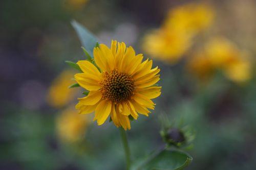gėlė,geltona,birželis,geltona gėlė,gamta,graži gėlė,gėlės,augalas,vasara,vasaros gėlės,makro,Iš arti,sodo gėlė,pavasaris,geltona gėlė,pavasario gėlės,geltona geltona